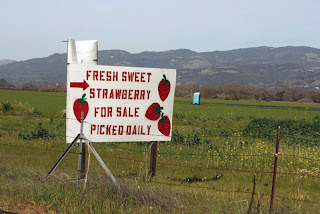 fresh picked strawberries sonoma