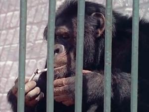 بالفيديو شمبانزى يدمن تدخين السجائر