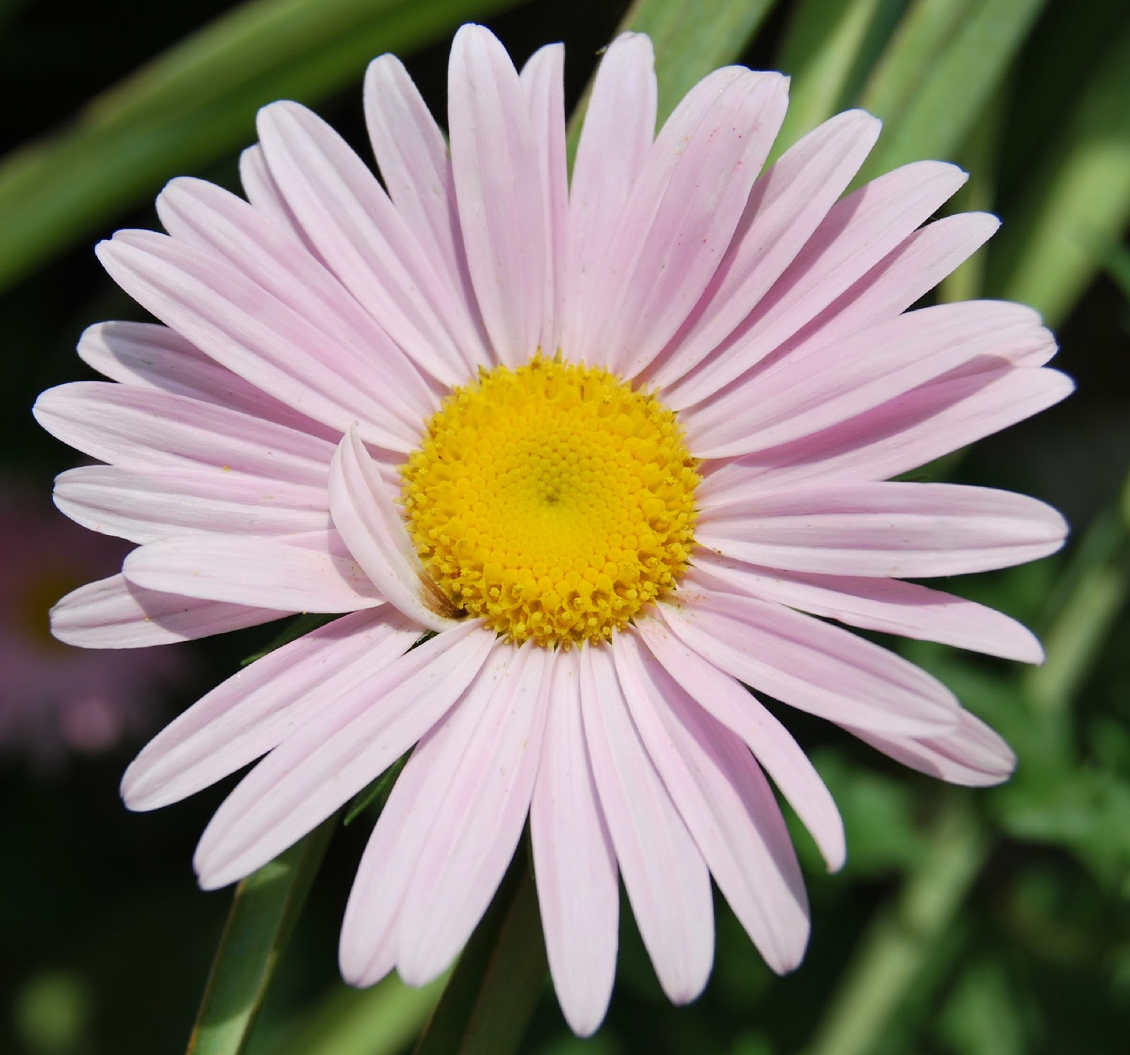 Image Gallery la flor margarita