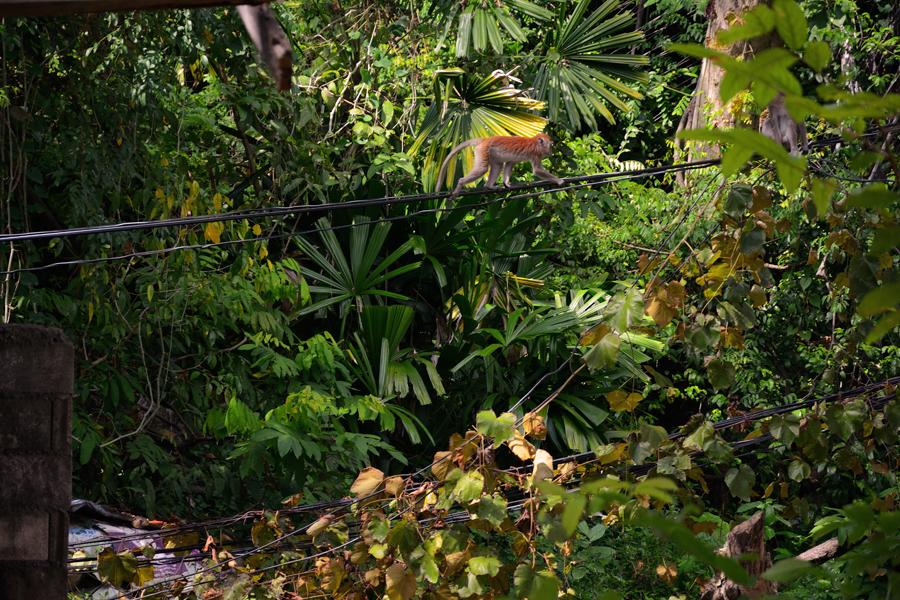 makaki tajlandia