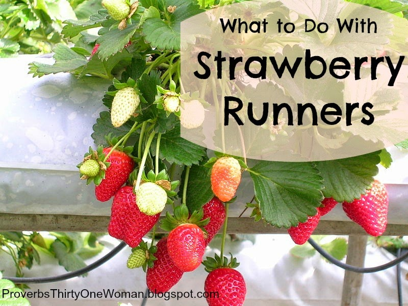 What to do with strawberry runners proverbs 31 woman
