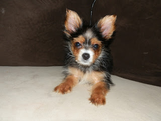 Papillon Puppy Photo