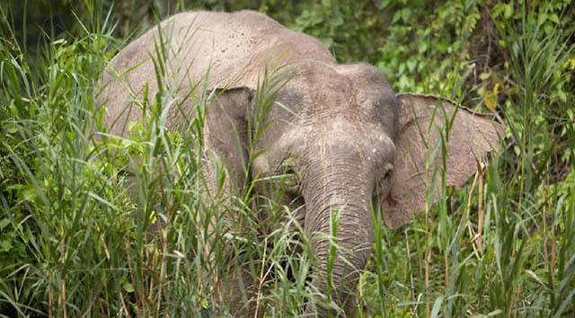 Gajah Jawa Ditemukan Kembali di Borneo