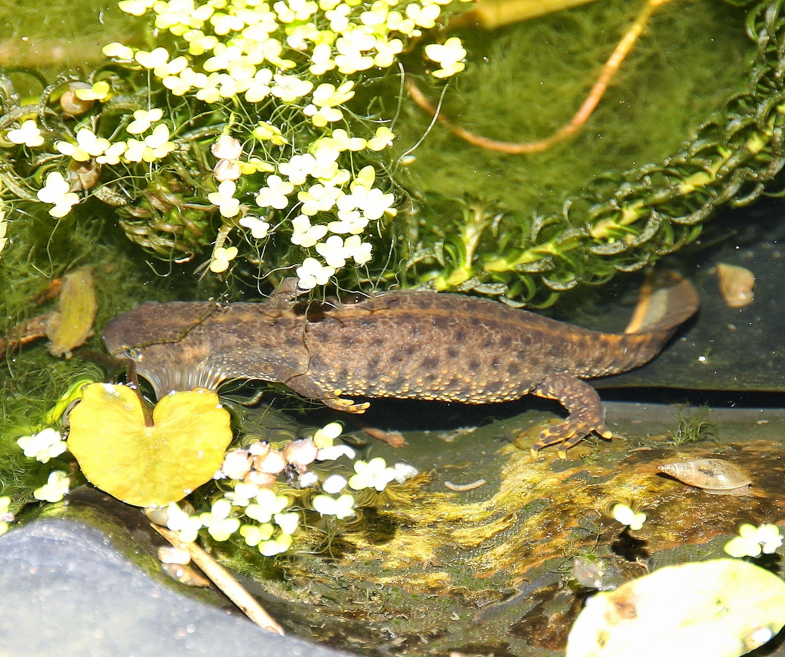 Great Crested Newt: Female. Females Do Not Have The Jagged Crest Of The  Males