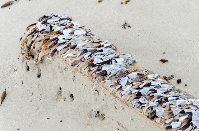 piece of timber with seashells attached to it on beach