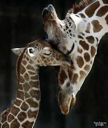 Безумно люблю жирафов...