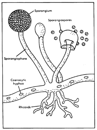 microbial universe  aspergillosis cause by fungus aspergillus