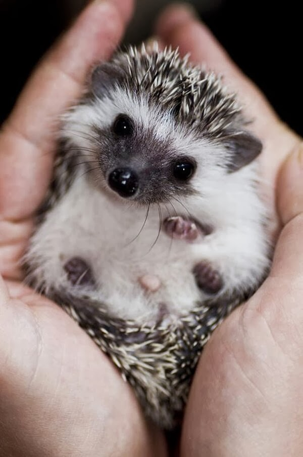 Funny animals of the week - 3 January 2014 (40 pics), baby hedgehog