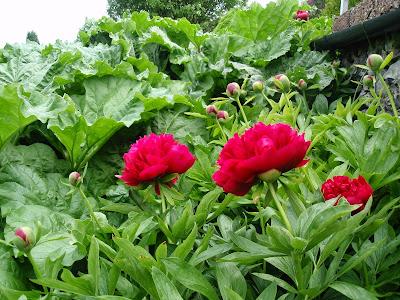 Peonies and rhubarb