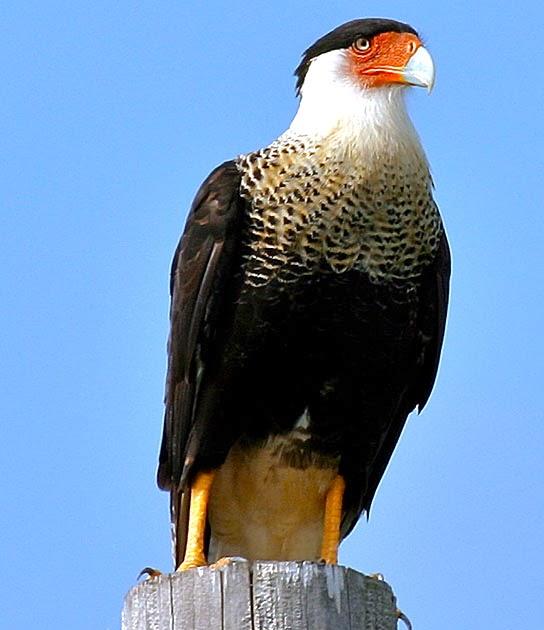 Florida Caracara And Vultures