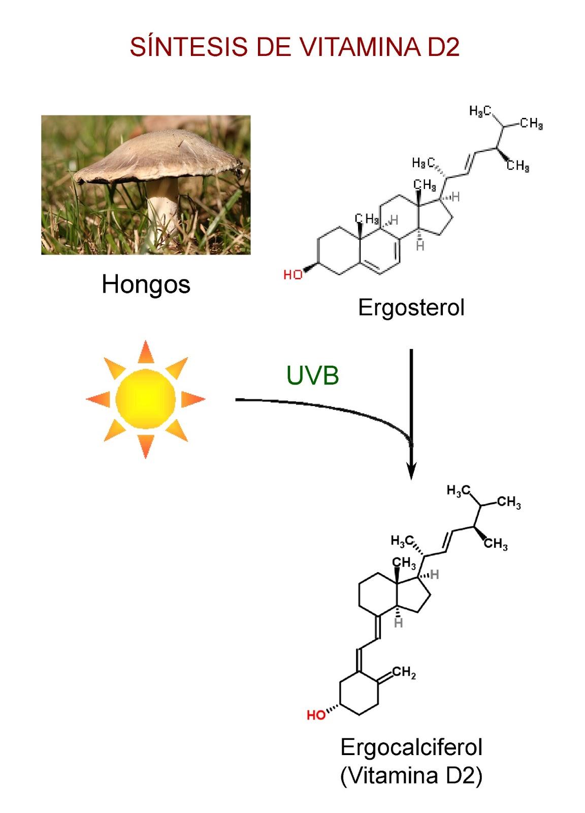 Producción de vitamina D2 en los hongos por la acción del sol