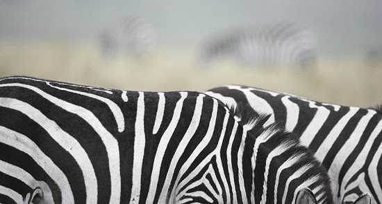 Safari Fusion blog | Zebra crossing | Zebra by photographer Tim Flach www.timflach.com