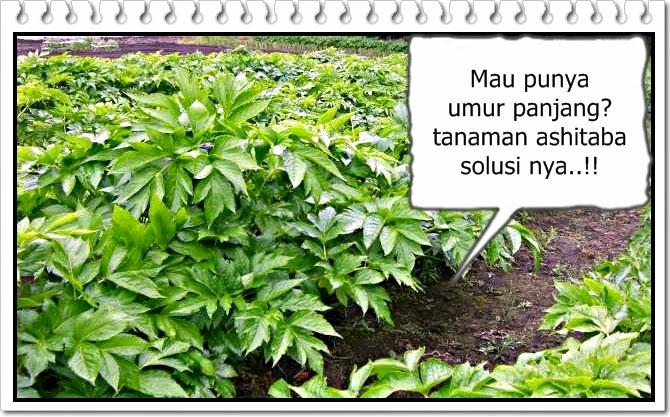 manfaat tumbuhan ashitaba
