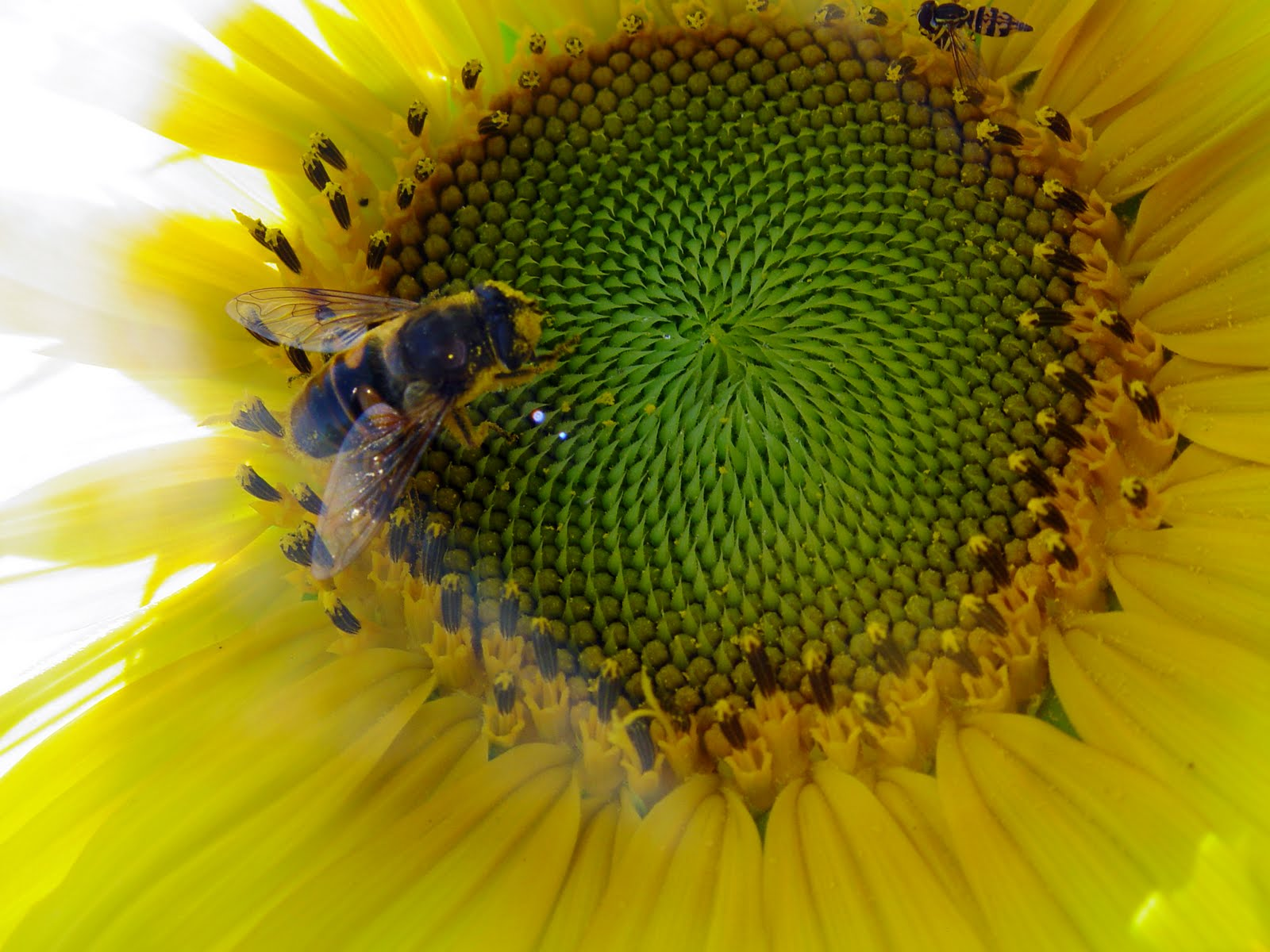 how to look after cut sunflowers
