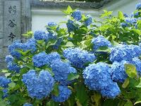 柳谷観音・楊谷寺は、「第13回あじさいまつり」が6月29日と30日に催しされ賑わった。