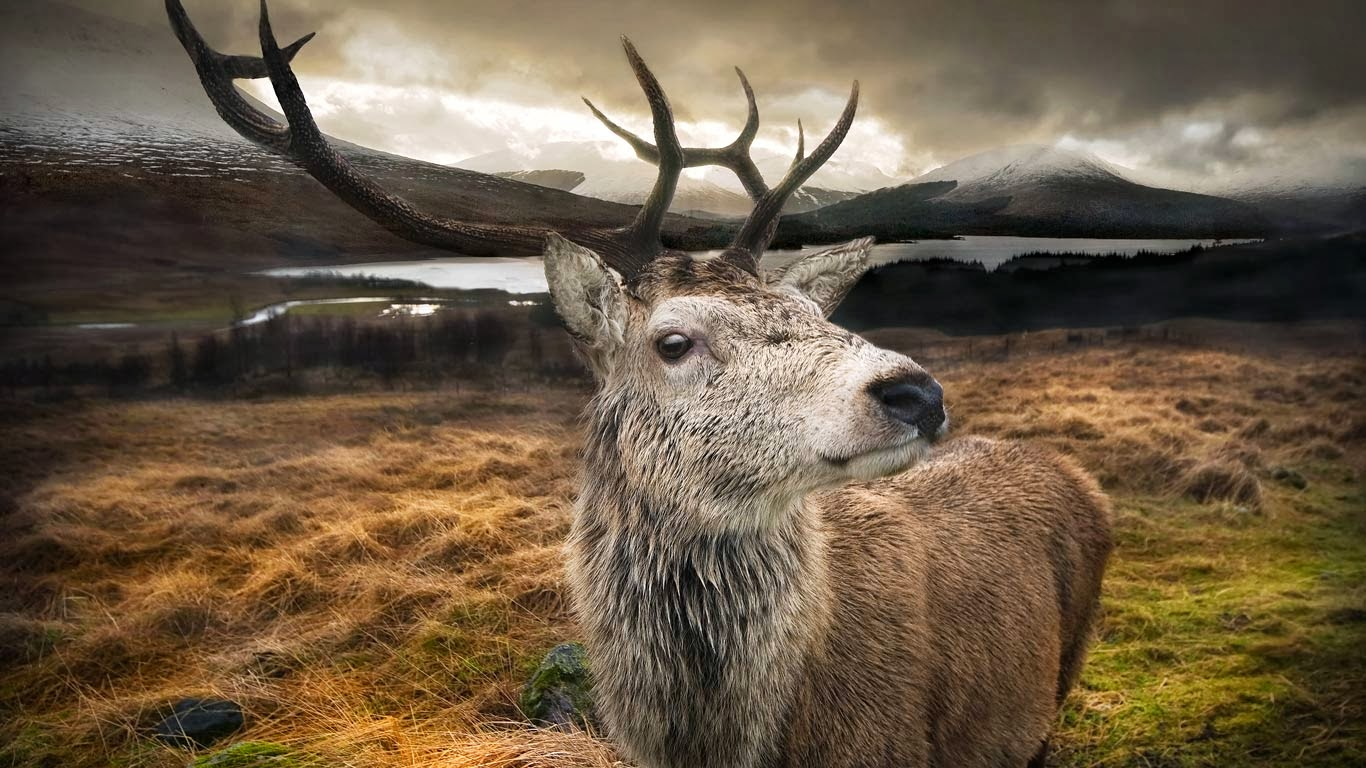 Close-up of a red stag in the Scottish Highlands (© gmsphotography/Getty Images) 348