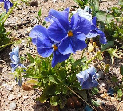 mavi mor çiçek