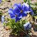 Susuz Toprakta Yetişen Mavi Çiçek