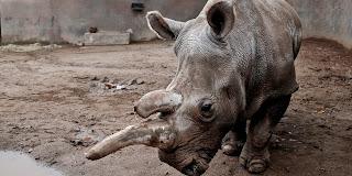 Sono soltanto 3 gli esemplari di rinoceronte bianco del nord nel mondo