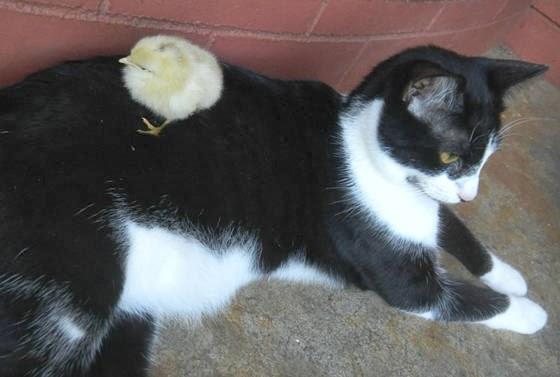 foto Navi si kucing dan anak ayam adopsinya 02
