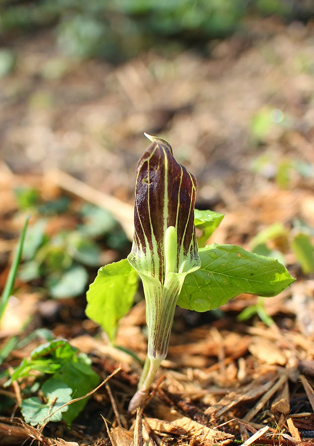 The Impatient Gardener: Southeastern Wisconsin wildflowers, jack in the pulpit