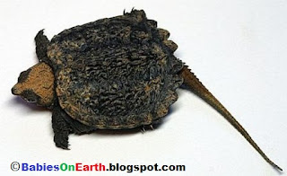 Baby Common Snapping Turtle