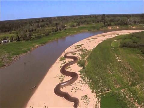 Real anaconda in amazon - photo#14