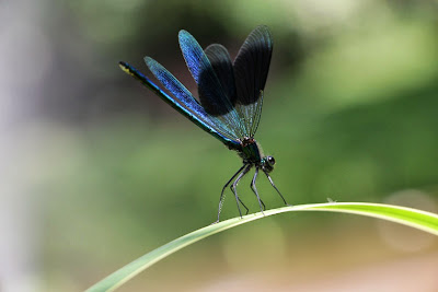 Tierfotos - Libellen - Gebänderte Prachtlibelle