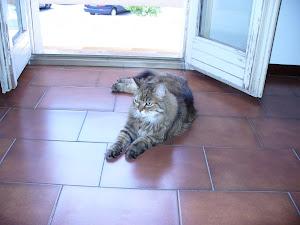 """""""CUCINOTTA"""", la mia gatta persiana."""