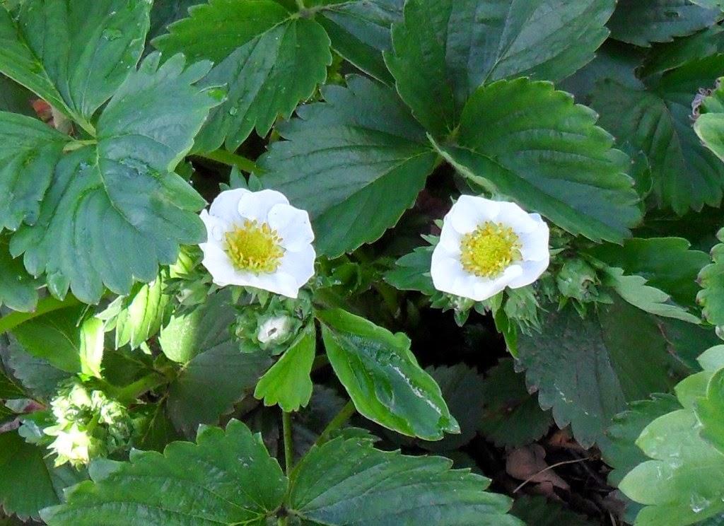 Первые цветки клубники