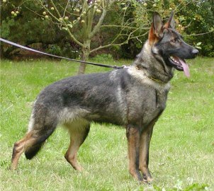 how to train a german shepherd to bark on command