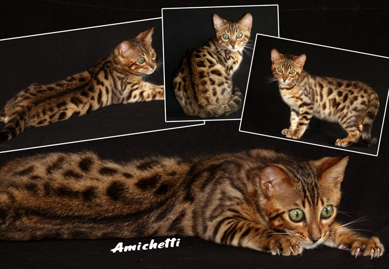 Mini Bengal Cat Bengal Breed of Cat Breeder