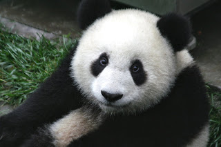 Cute Panda Bear HD Wallpaper