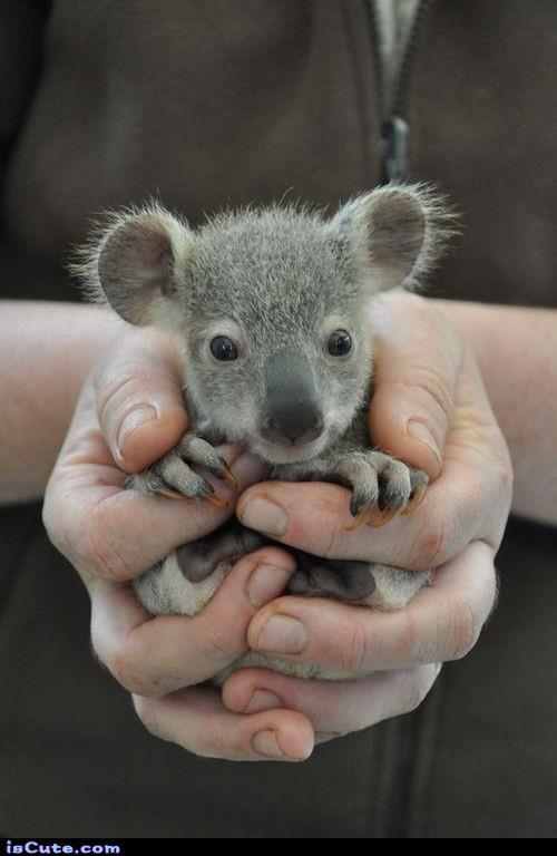 A Little Bit Of British Baby Koala Bear