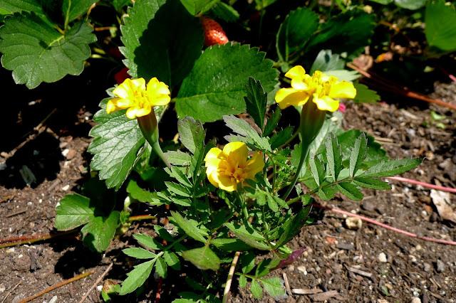 Heirloom French Marigold, Lemon Drop, Tagetes patula