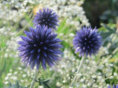 blå bolltisteln - Echinops bannaticus inspiration
