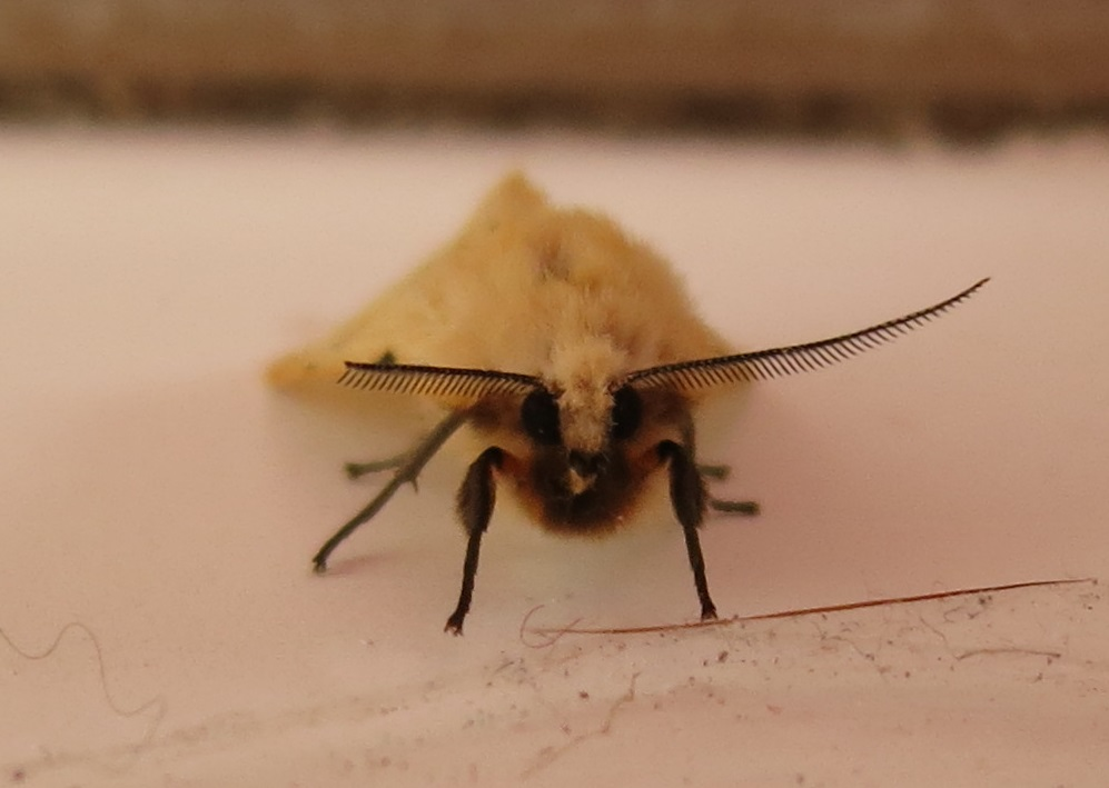 Face view of Buff Ermine moth.