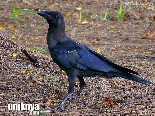 Foto Burung Gagak Jantan