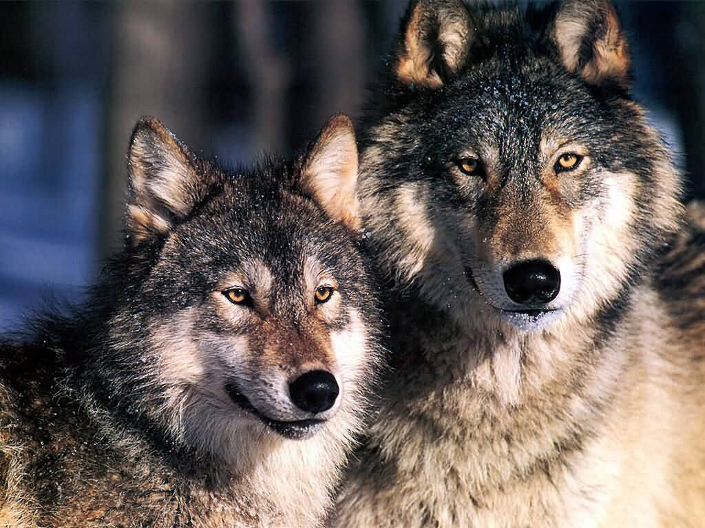 http://4.bp.blogspot.com/-Ly2nxENzWqo/UWgBLnZCKqI/AAAAAAAADfY/X2QfLKgs828/s1600/wolves.jpg