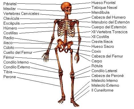 Dibujo del Sistema óseo del cuerpo humano indicando sus partes