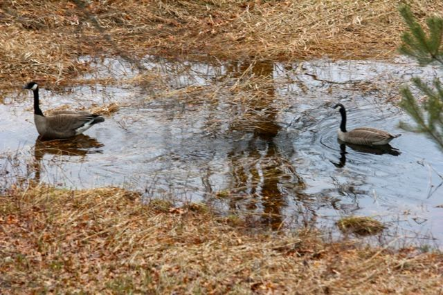 """Canada geese leaving our """"wet spot"""""""