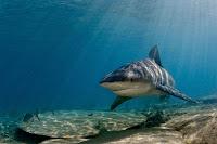 Hawaii shark