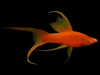 Longfin Swordtail Fish Pictures