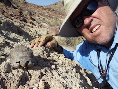 A young Desert Tortoise in the River Mtns.