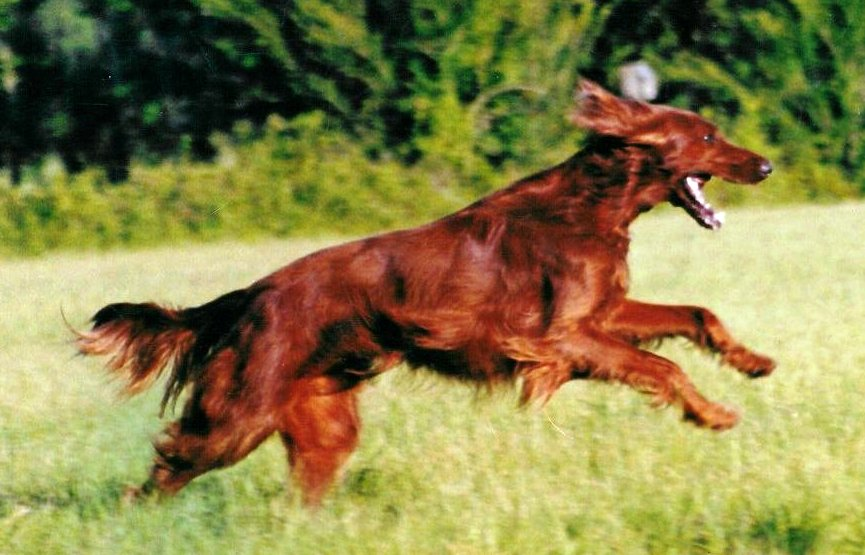 About Dog Irish Setter: Basics of Irish Setter Training