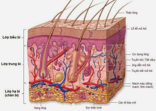 Triệt lông vĩnh viễn có hiệu quả không - Cấu tạo 3 lớp của da