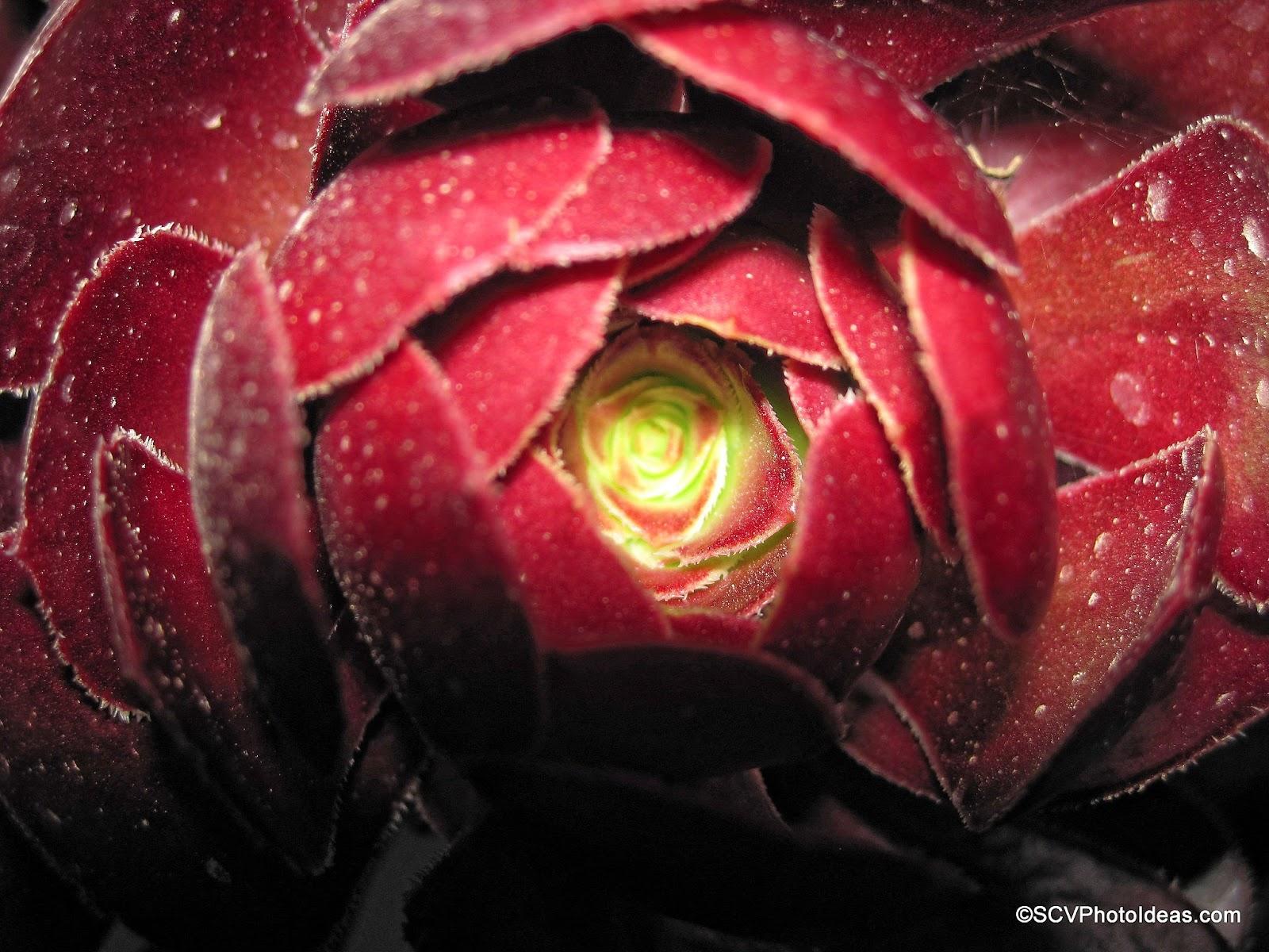 """Aeonium Arboreum Var. Atropurpureum """"Schwartzkopf"""" core"""