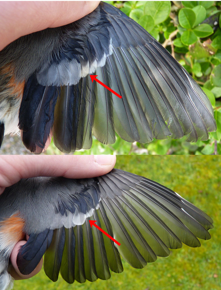 ... of its open wing (above) with an adult male (below - taken on 27th Feb).