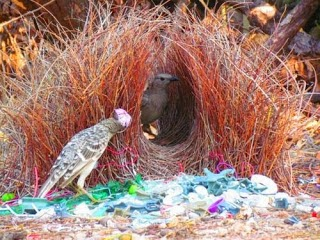 Bower Bird Nest