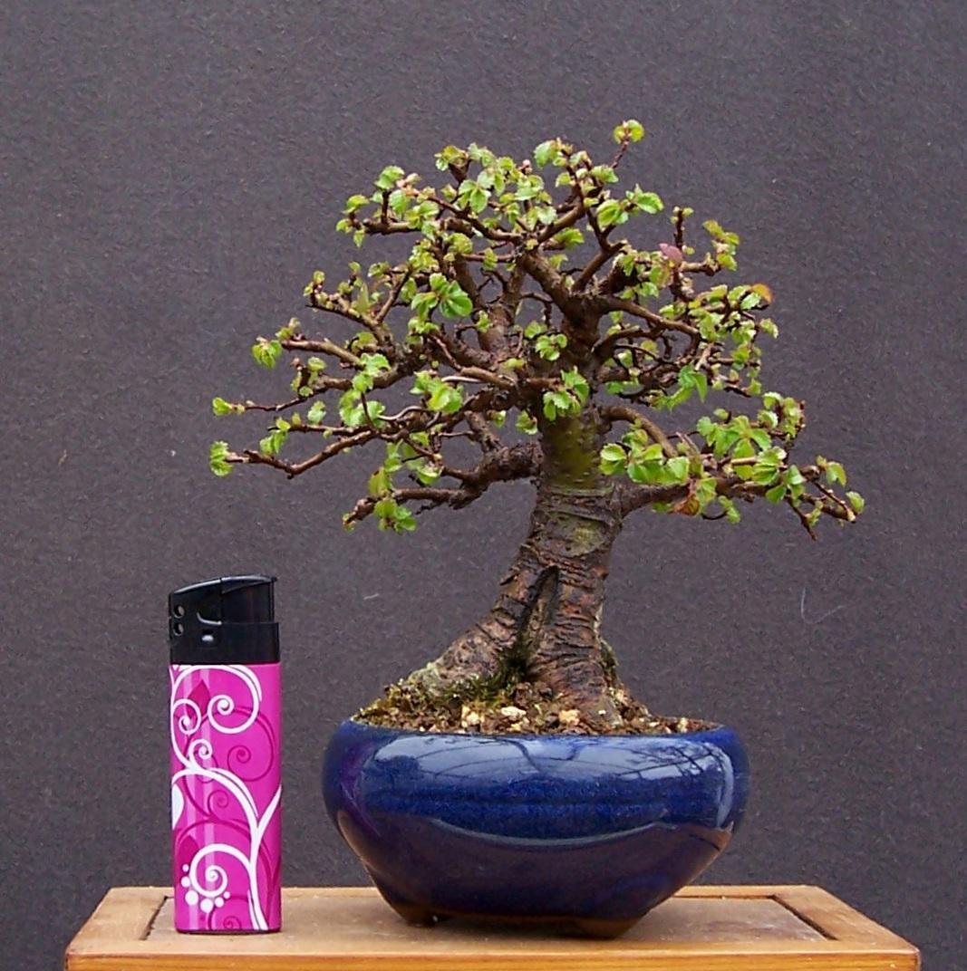 MiKo Bonsai Some Random Photos Of My Smallest Trees